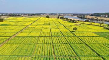 航拍吉水千亩油菜花盛开 吸引游客踏春来