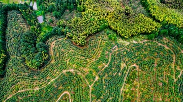 航拍江西百亩高产油茶迎丰产采收季
