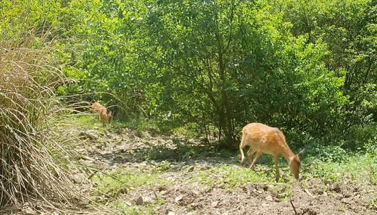 九江红外相机首次拍到六鹿同行