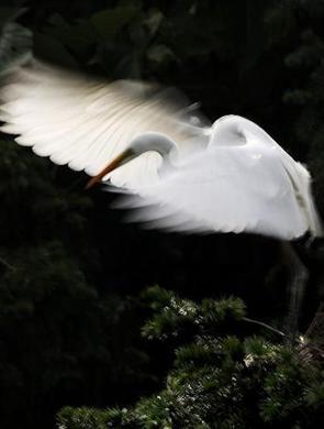 南昌数十万小白鹭试飞翔 舞姿如画