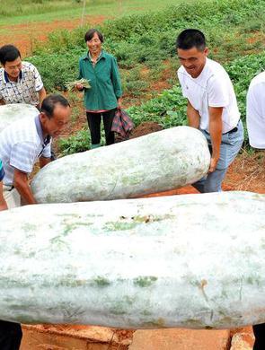 江西上饶巨型冬瓜丰收 重达184斤