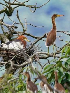 威尼斯人真人鹭鸟园引大批鸟儿栖息筑巢
