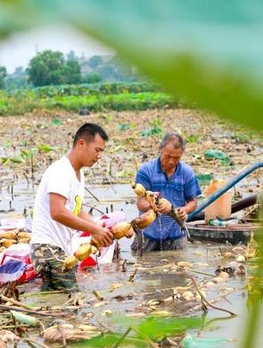 金秋时节吉水村民采挖莲藕 供应市场