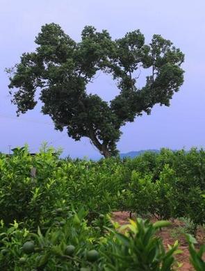 """这棵樟树长成了""""爱情的样子"""""""