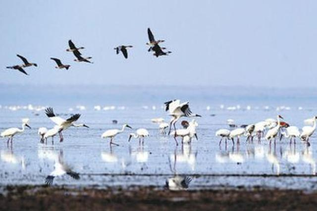 鄱阳湖迎来60万只越冬候鸟 达到今年峰值