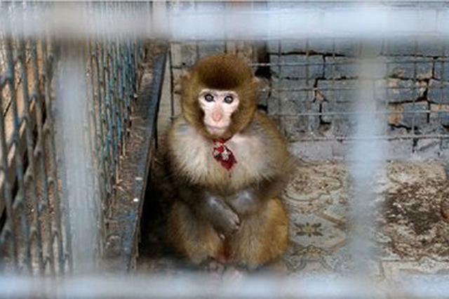 女子外出吃火锅被猴子抓伤 店方:系其他单位寄养