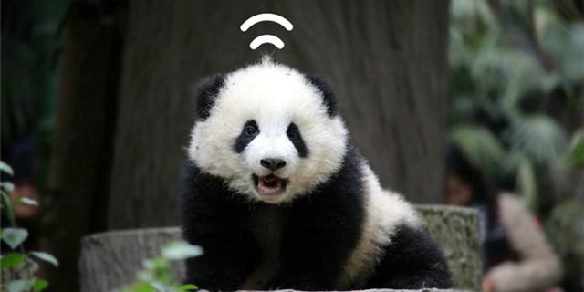大熊猫奇一:不爱竹子爱抱大腿