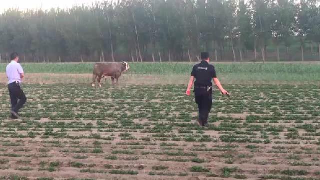 辽阳一公牛发飙连撞2人 民警掏枪击毙