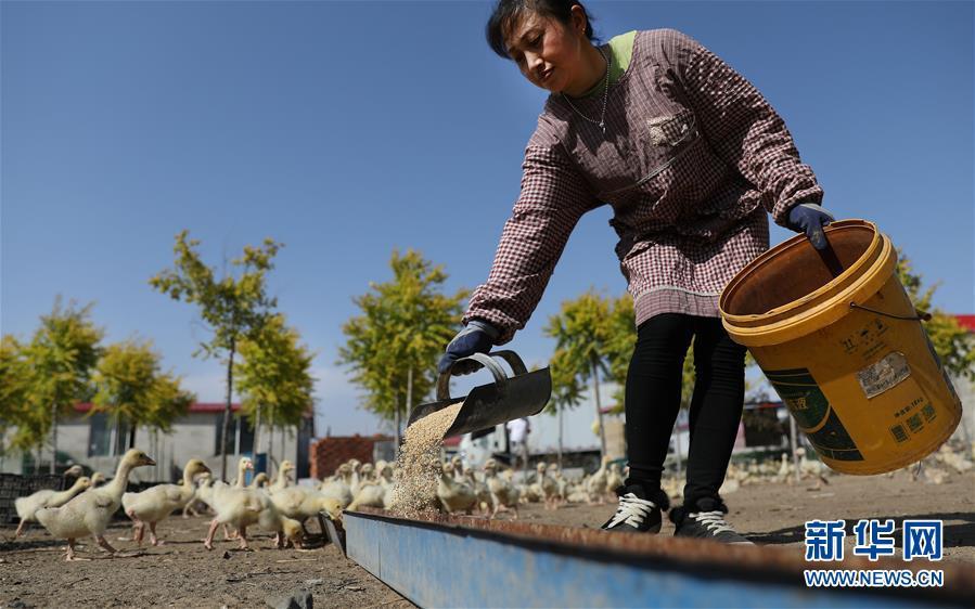 遼寧臺安:白鵝養殖富農家