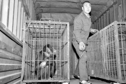 4只黑猩猩抵达沈阳。