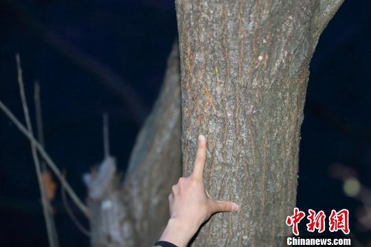 野生大熊猫留在树上的抓痕 黄刚 摄