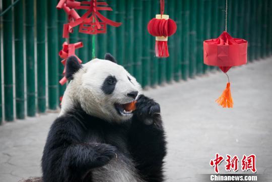大熊猫在吃零食。 王智勇 摄
