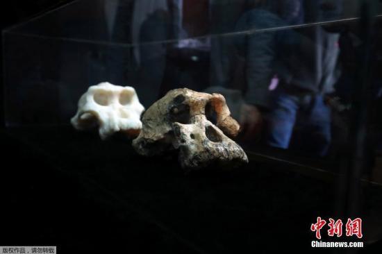 """当地时间8月28日,美国克利夫兰自然历史博物馆公布了在埃塞俄比亚发现的、距今380万年的""""非常完整的""""南方古猿头骨,这一发现再次挑战了我们对人类进化的看法。"""