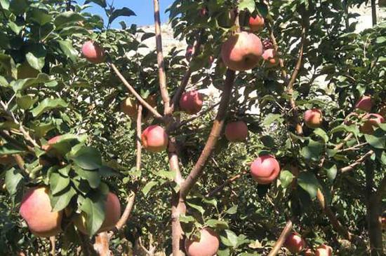 朝阳长宝寒富苹果:肉质酥脆 汁多味浓