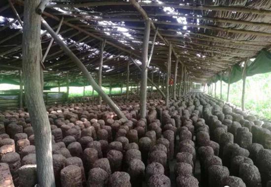 丹东牛毛坞食用菌:大山深处菇香四溢