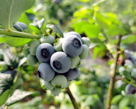 丹东古楼子蓝莓:温室蓝莓果香浓郁