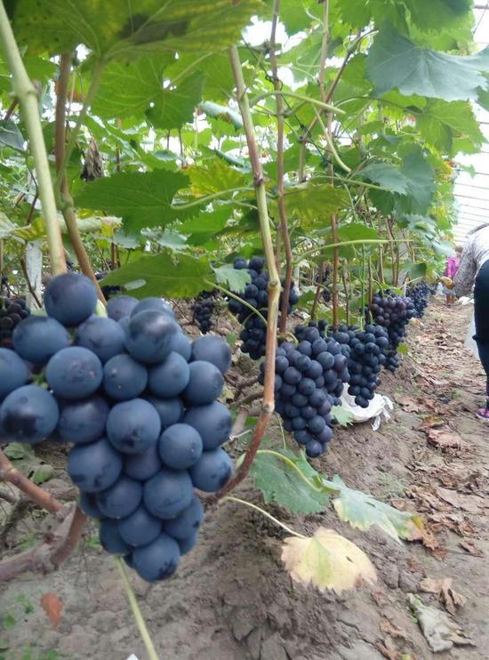 状元红,夕阳红等品种的葡萄,都是源于自然生长,精美香甜,实属绿色珍品