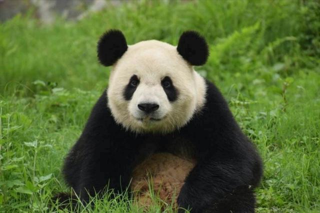 """4只熊猫本月来沈安家一只是""""网红"""""""