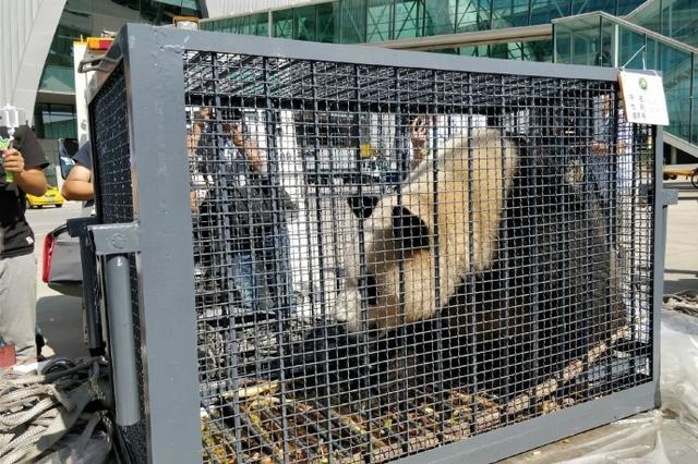 4只大熊猫来沈安家 沈阳也有大熊猫了