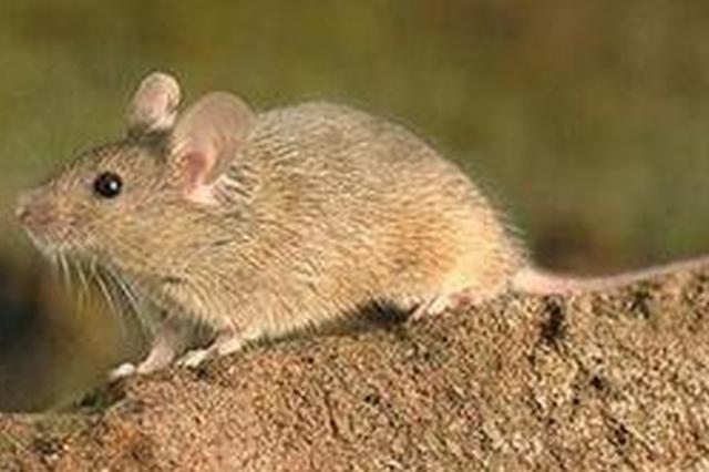 辽宁口岸首次截获罕见黄胸鼠 传播传染病风险大