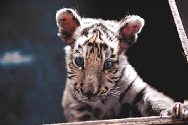 """沈阳动物园小老虎被妈妈抛弃 与""""奶爸""""相处融洽"""