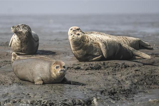 辽宁大批斑海豹洄游栖息 滩涂上休息呆萌可爱