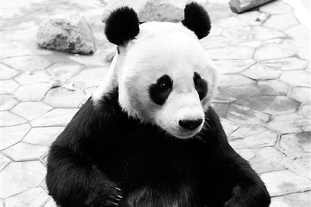 """沈阳森林动物园更正大熊猫浦浦性别 千金""""变""""少爷"""