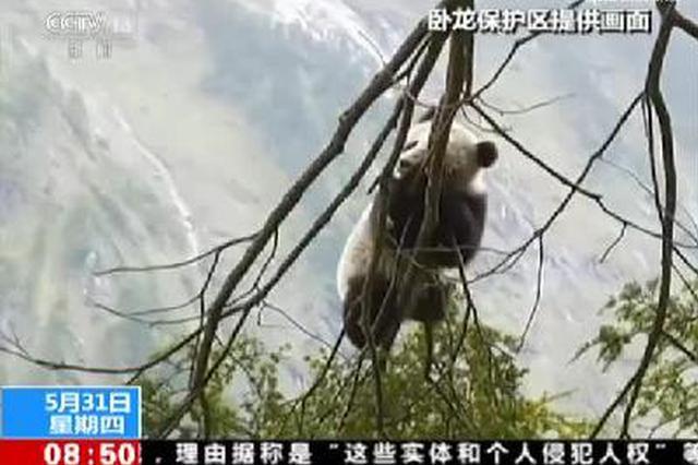 巧遇野生大熊猫 四川发现新大熊猫栖息地
