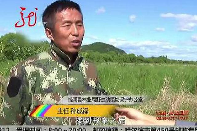农场发现野生东北虎行踪