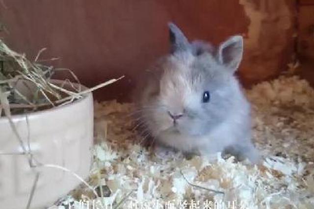 世界上最小的兔子是萌宠界一股清流
