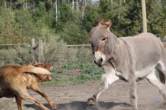 沈阳:驴被狗吓后撞损汽车 狗主人车主达赔偿协议