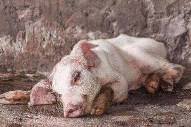 辽宁:非洲猪瘟疫情稳控在沈阳 其他地区未发现异常