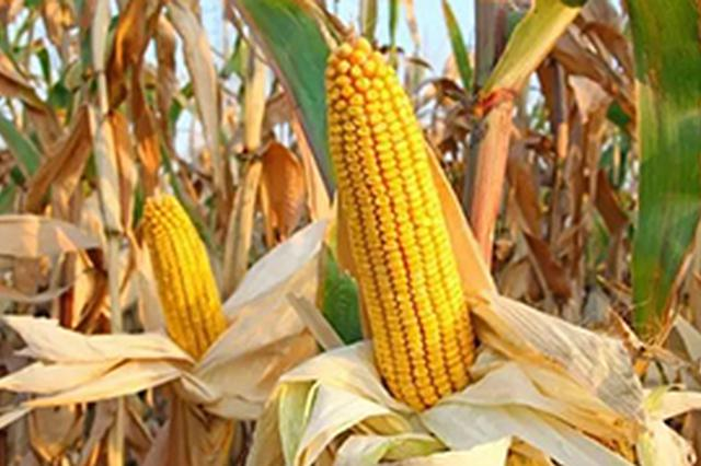 我国玉米产量今年预计为2.16亿吨 同比略增