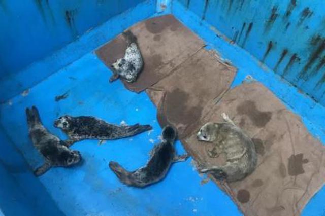 大连百只斑海豹被盗猎:刑拘5人 海豹将按计划放生