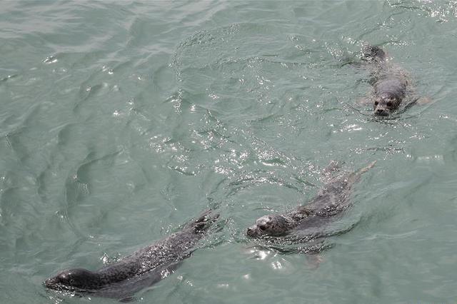 大连:61头被盗捕野生斑海豹全部放归大海