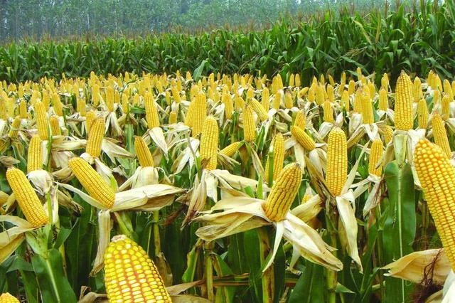 1347.3公斤!东北玉米亩产新纪录
