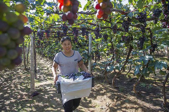 辽宁相册——辽宁土特产 锦州北镇葡萄:品种由单一向多样发展