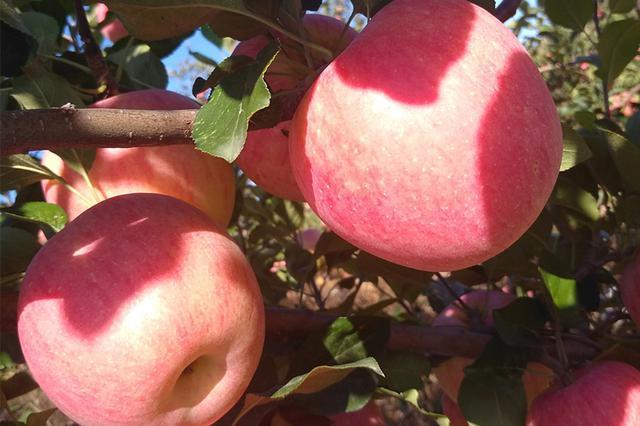 辽宁土特产 葫芦岛嘎啦华红苹果:口感酥脆 香甜多汁
