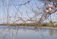 沈阳浑河的春天桃花初放