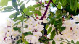 五月的大连,串串槐花在枝头绽放。(摄影:雪林)