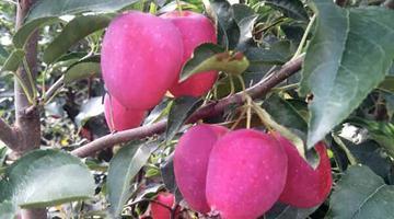 朝阳长宝鸡心果:质脆多汁的袖珍苹果