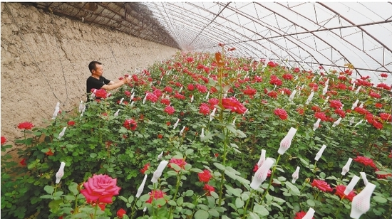 沈阳辽中区:玫瑰种植富农家