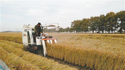 又是一个丰收年!沈阳182.7万亩水稻陆续归仓