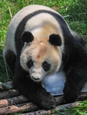 """沈阳森林动物园内大熊猫""""趴冰""""消暑"""