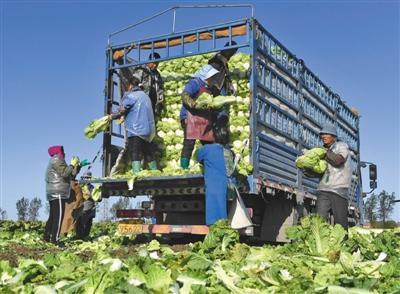 11月13日,河北玉田,农民将刚收获的大白菜装车。 本版摄影/新京报记者 吴宁