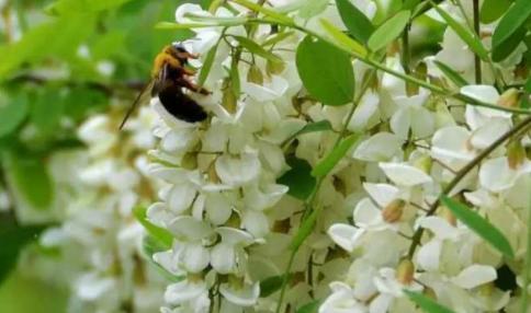 槐花盛开,清甜香味引得蜜蜂驻足采蜜。(摄影:雪林)