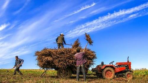 辽宁全省秋收共收获粮食作物5200余万亩
