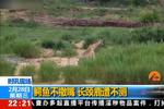 游客拍下长颈鹿丧命画面 先遇鳄鱼袭击后进雄狮口