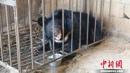 图为涉事黑熊。钟欣摄