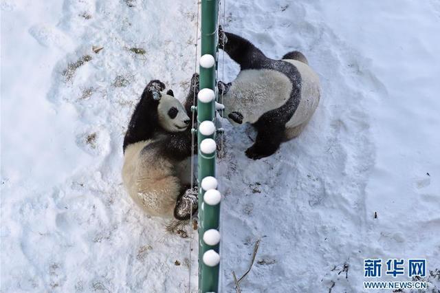 """沈阳:""""功夫熊猫""""雪中显身手"""
